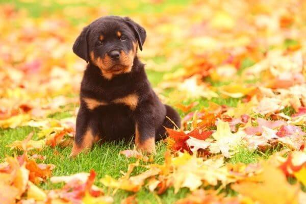 Купить щенка ротвейлера - за и против