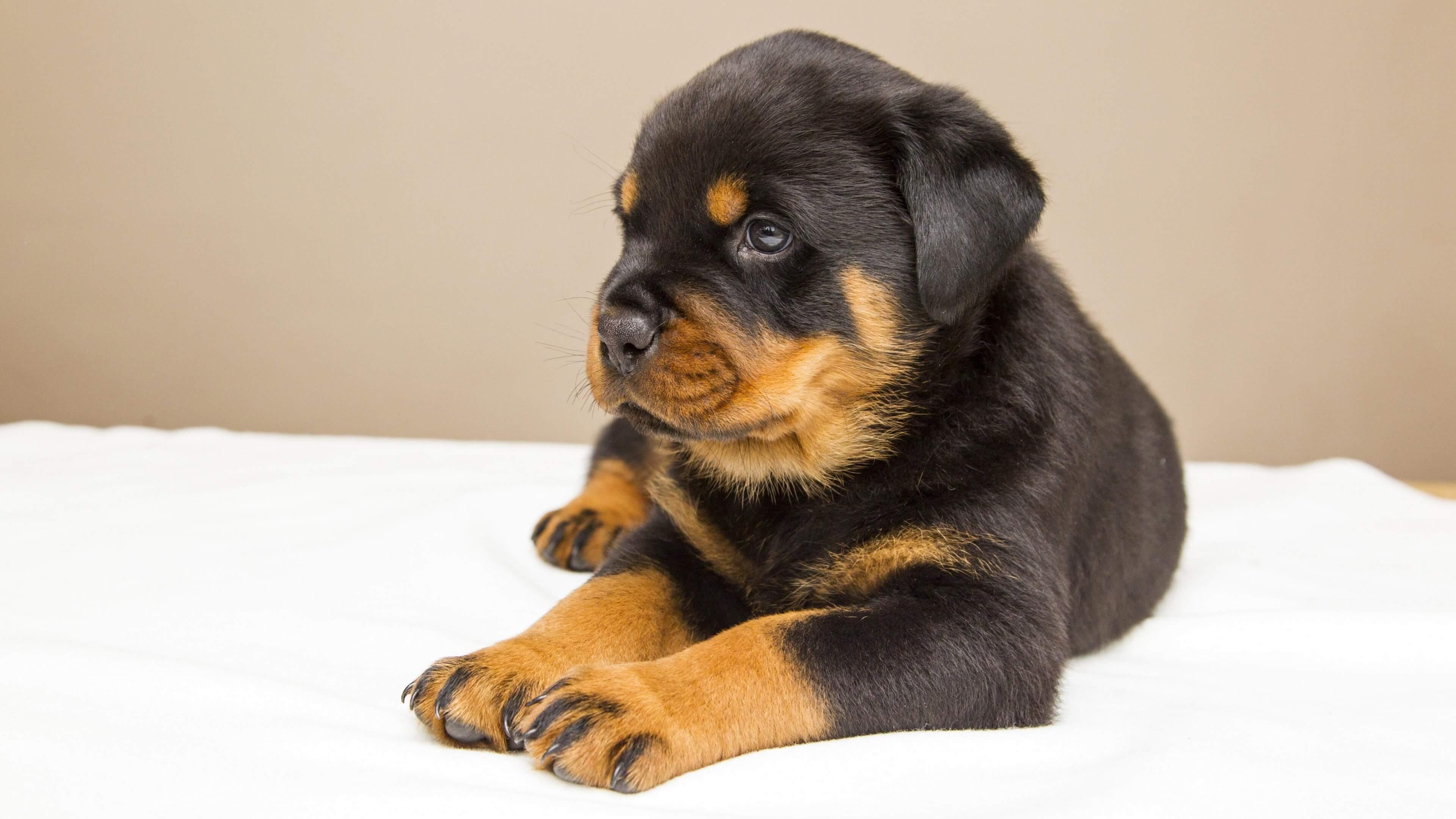 Где купить щенка ротвейлера