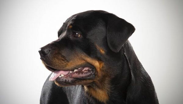 Ротвейлер - Порода собак ротвейлер