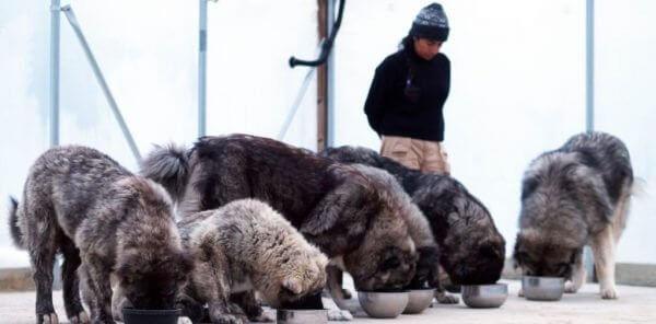 Кормление кавказской овчарки