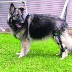 Травмы сухожилий у собак