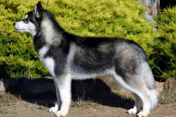 Сибирский хаски - порода собак сибирский хаски