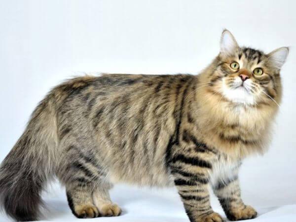 Сибирская кошка - порода кошек