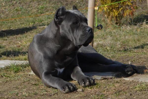 Порода собак Кане корсо.