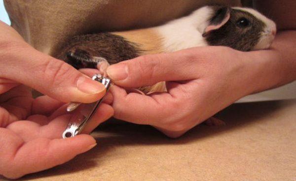 Как стричь когти морской свинке