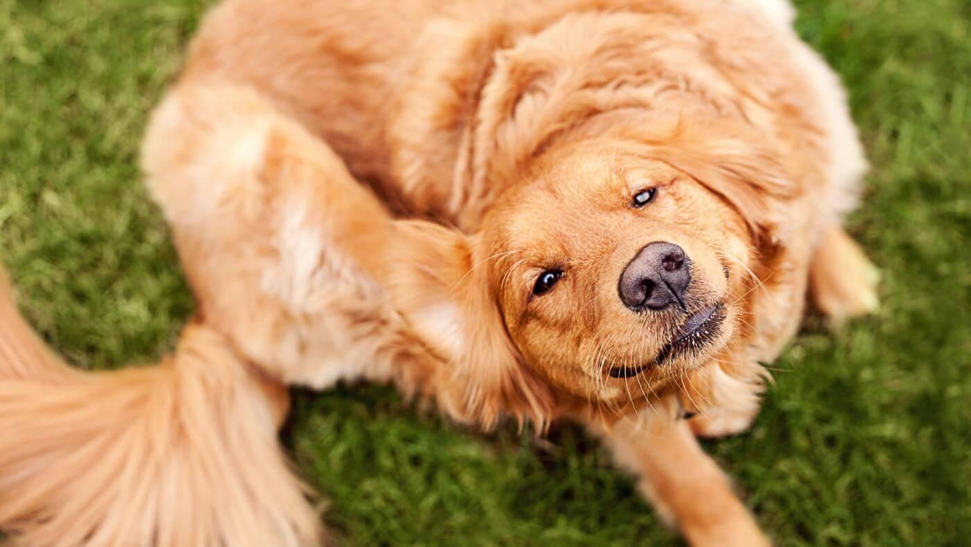 Если собаку укусил клещ