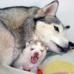 Роды у собак