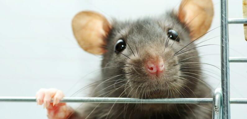 Сколько живут декоративные крысы