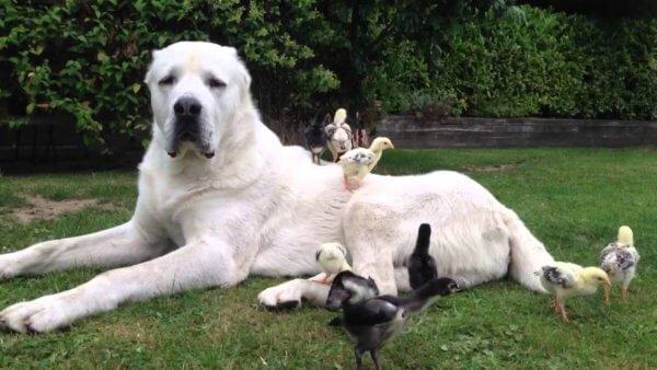 Кормление взрослой среднеазиатской овчарки