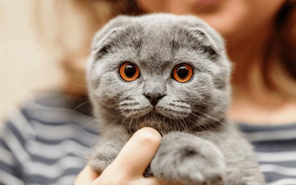 Стандарты шотландских вислоухих кошек