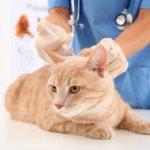 Прививки для кошек вакцина нобивак