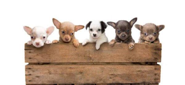 Чихуахуа как выбрать щенка