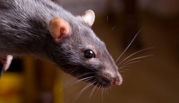 Интересные факты о крысах