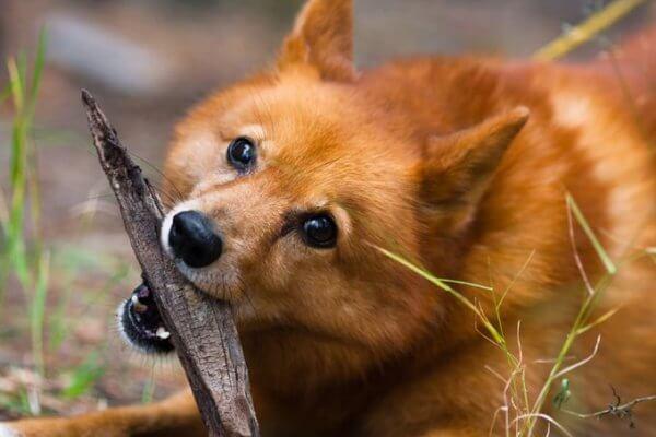 Почему собака или щенок икает и что делать
