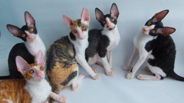 Корниш рекс порода кошек