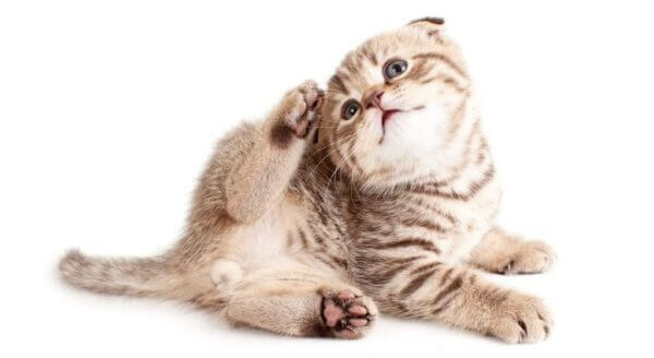 Откуда берутся блохи у домашних кошек