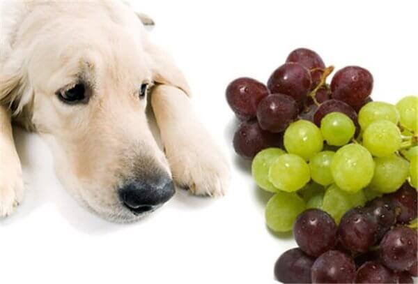 Можно ли собаки есть виноград