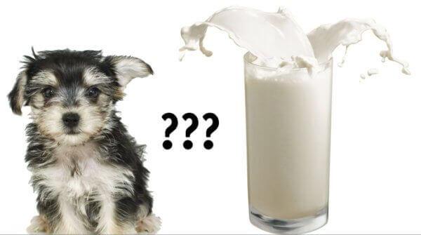 Можно ли собакам давать молоко