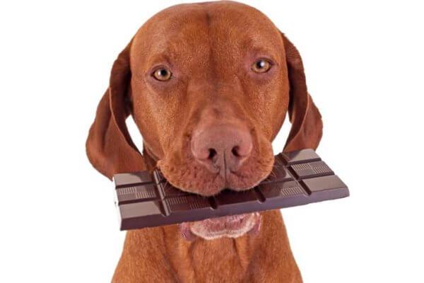Можно ли собакам шоколад