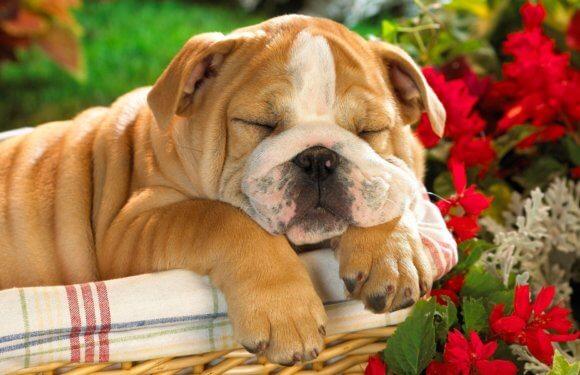 Самые дорогие породы собак в мире – топ 10
