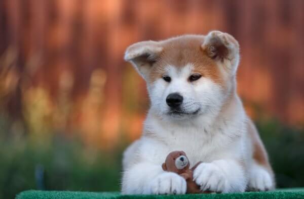 Японская собака - акита-ину (10-е место)