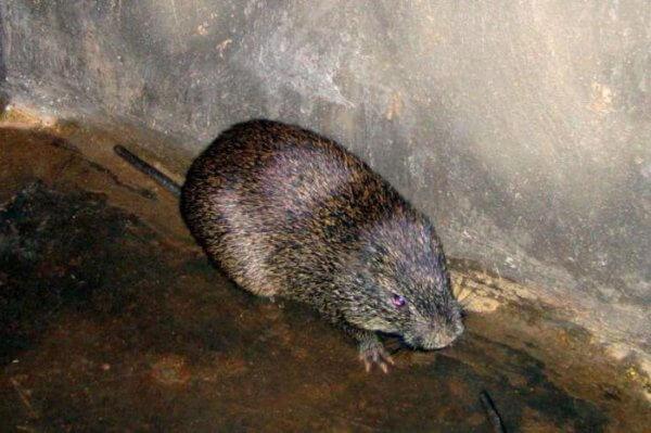 Самая большая крыса в мире фото