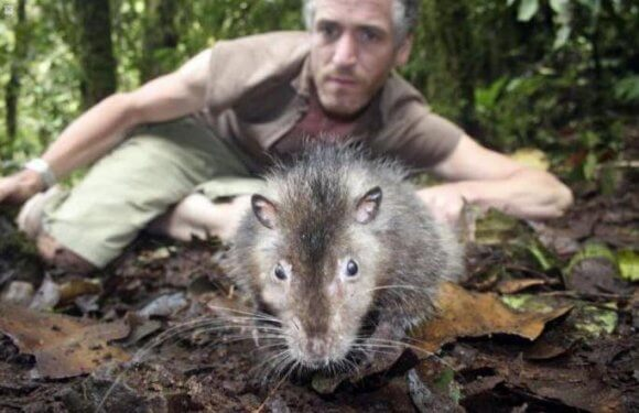 Самая большая крыса в мире 18 кг фото