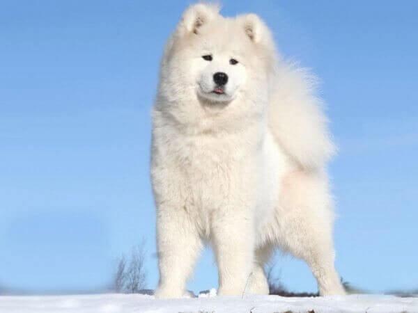Самоедская собака (3-е место)