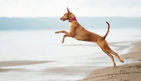 Фараонова собака (8-е место)