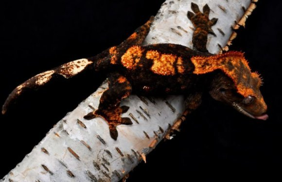 Могут ли хохлатые гекконы — бананоеды менять цвет и почему они это делают?