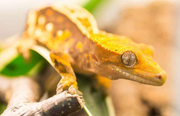 Могут ли хохлатые гекконы — бананоеды плавать и нравится ли им вода?