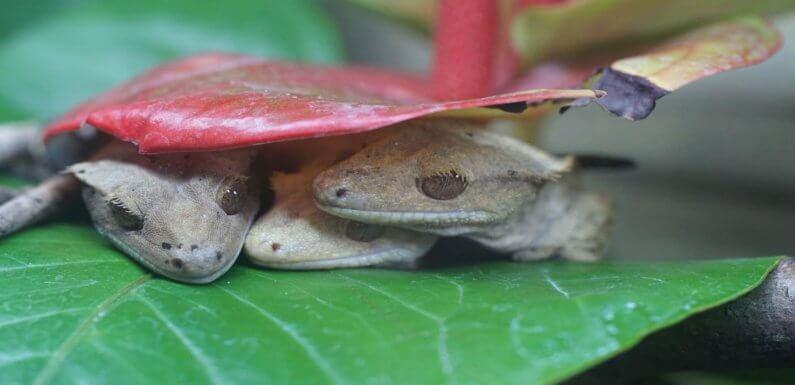 Брумация рептилий: нуждаются ли бананоеды в спячке?