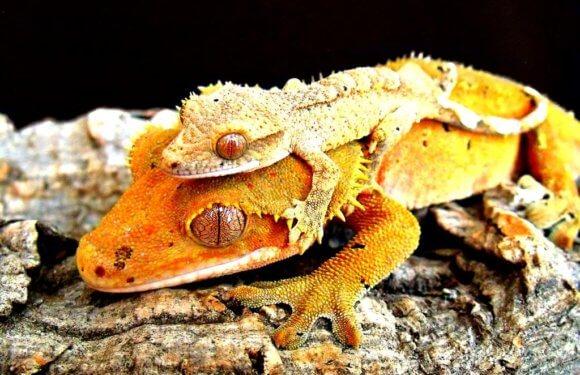 Продолжительность жизни хохлатых гекконов — бананоедов: сколько живут бананоеды?