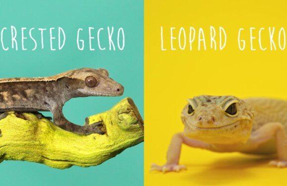 Может ли хохлатый геккон — бананоед жить вместе с леопардовым гекконом — эублефаром?