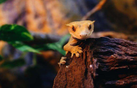 Являются ли хохлатые гекконы — бананоеды вымирающими животными в дикой природе?