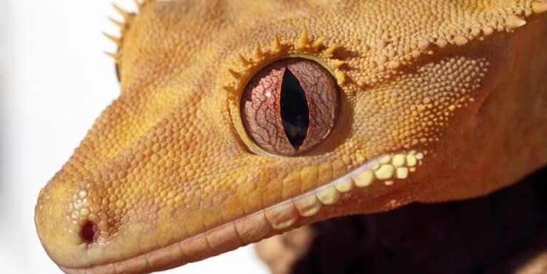 Могут ли хохлатые гекконы — бананоеды видеть в темноте и насколько хорошо они видят?