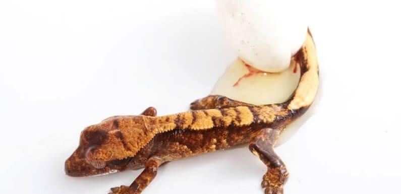 Инкубация яиц бананоеда – что с яйцами?