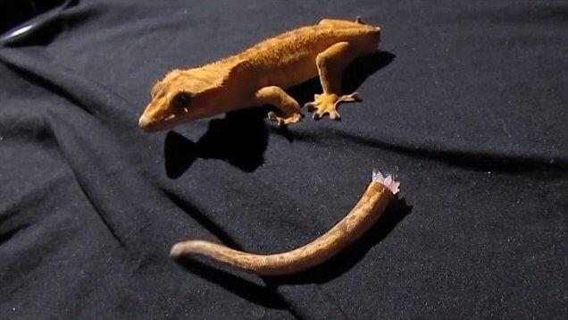 Бананоеды могут откинуть хвост, геккон потерял хвост!