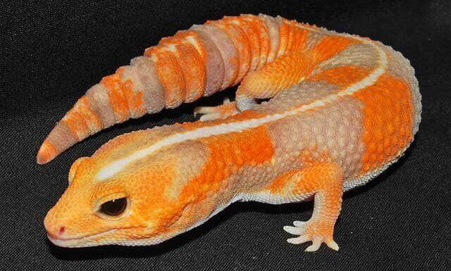 Африканский толстохвостый геккон — гемитеконикс содержание и уход