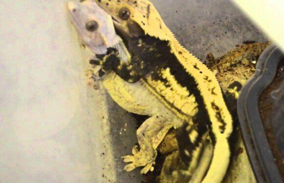 Разведение бананоедов: подбор пары и как отличить самку от самца бананоеда