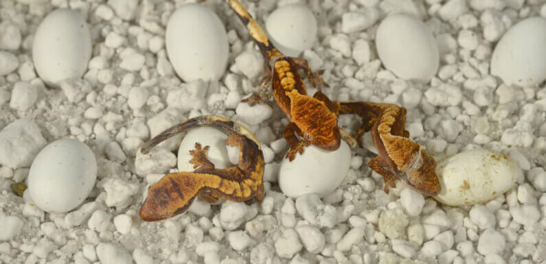 Инкубация яиц бананоеда