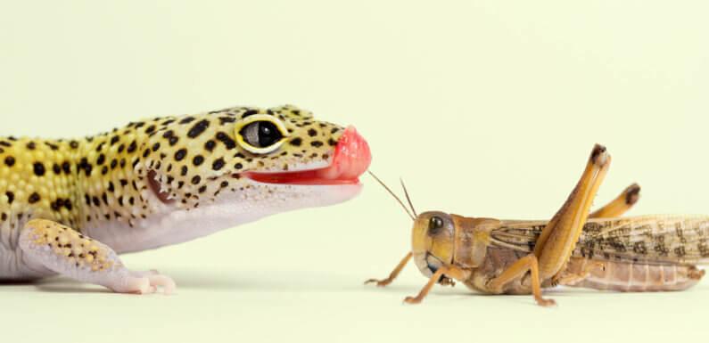 Можно ли кормить эублефара дикими насекомыми?